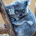 A nap képe: koalaszeretet