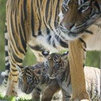 A nap képe: tigriskölykök