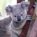 5 tény a koalákról, amit csak kevesen tudnak