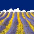 A nap (háttér)képe: lila mámor