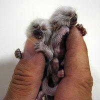 A nap képe: a legkisebb majmok a világon