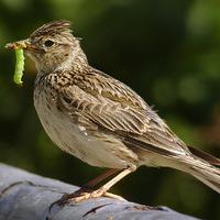 Fogynak a brit madarak