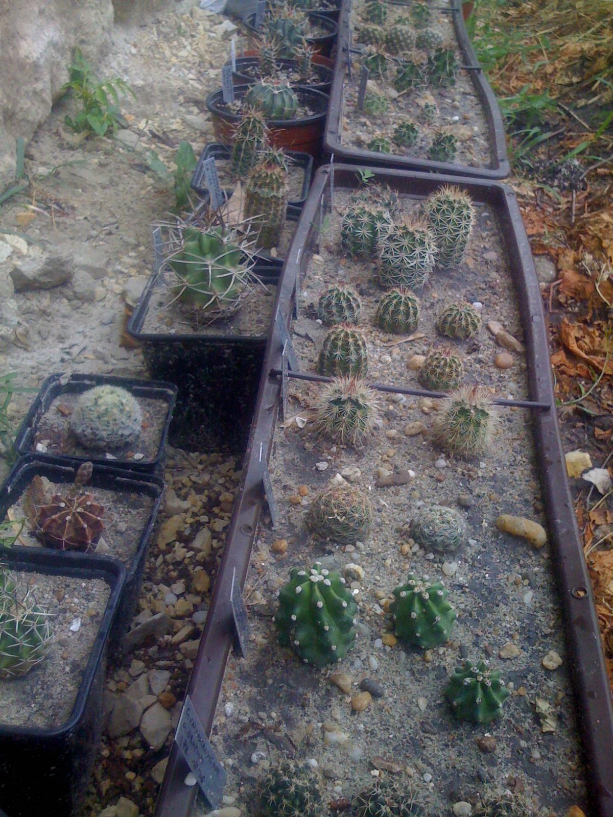 Szerelmetes kaktuszaim a fal tövében