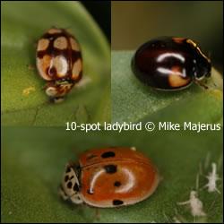 Tízpettyes katica változatai (forrás: www.harlequin-survey.org)<br />további képek a fajról itt: http://www.naturespot.org.uk/species/10-spot-ladybird