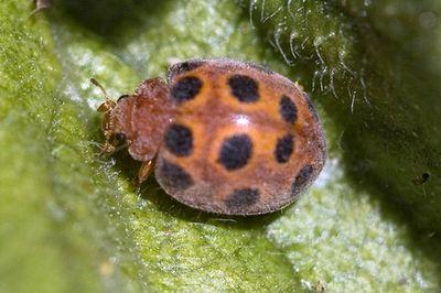 Magrugóböde (forrás: www.termeszettar.hu)
