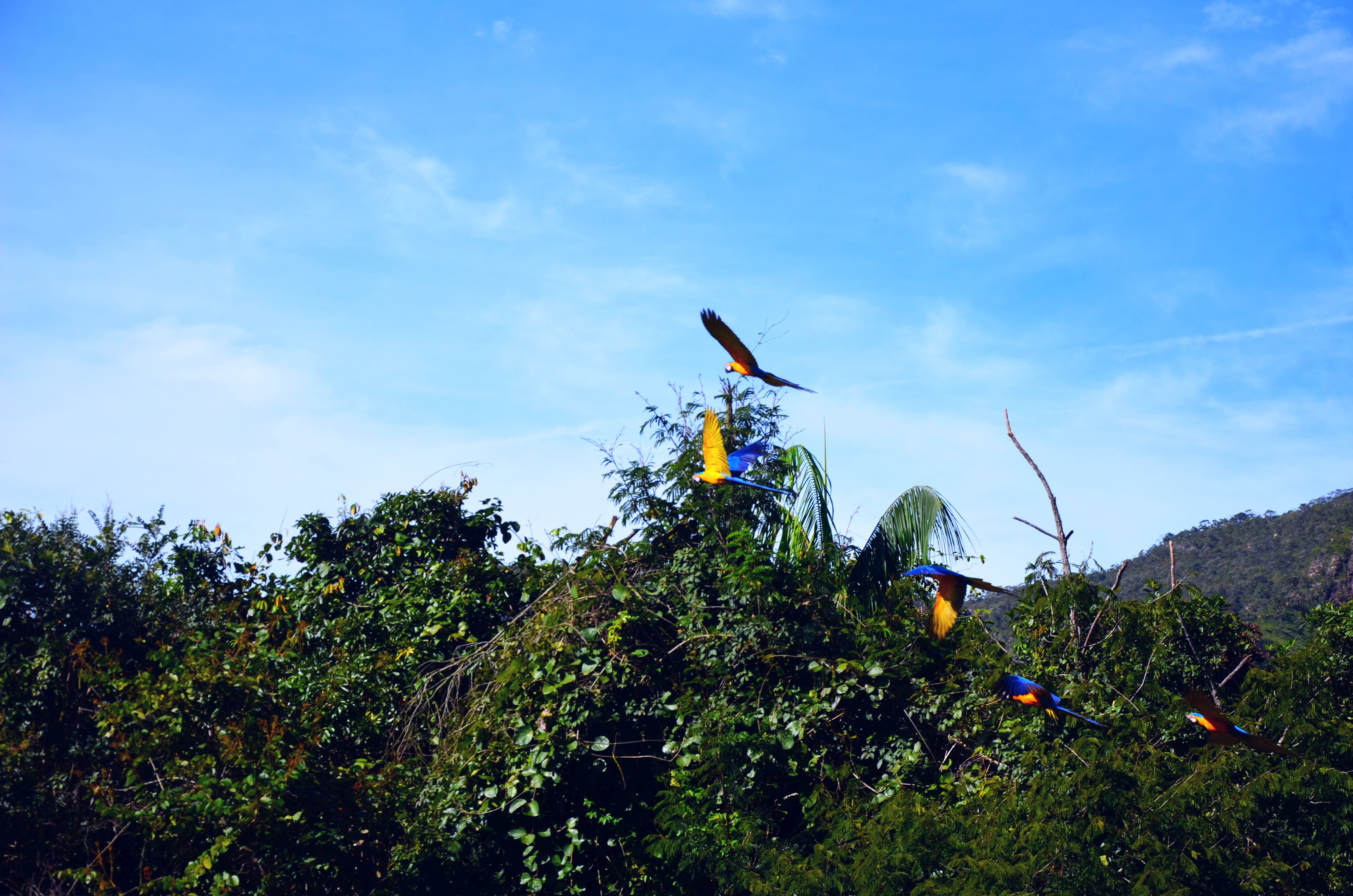 Ara papagájok reptükben (általában csak párosával repülnek)