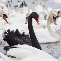 Black swan beauties - the readers respond