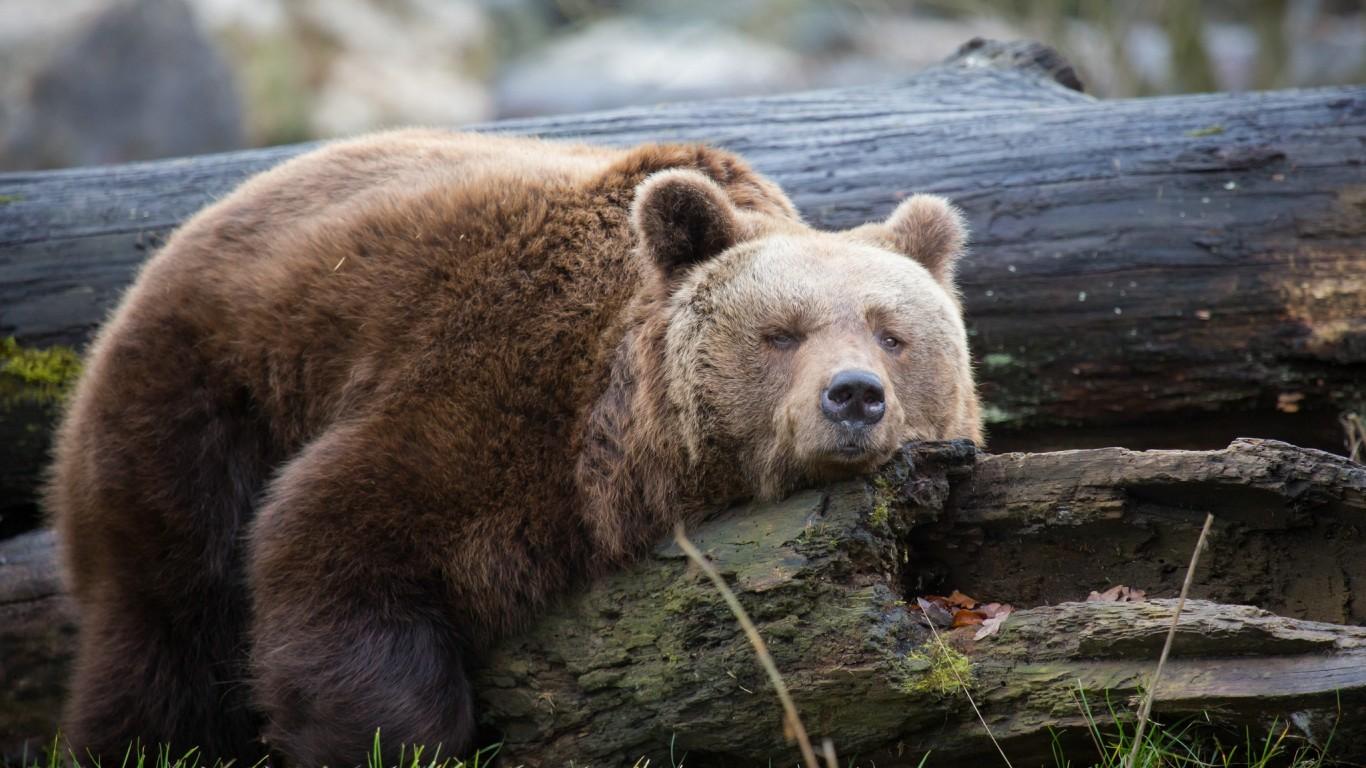 bear-resting-trunk-wood.jpg
