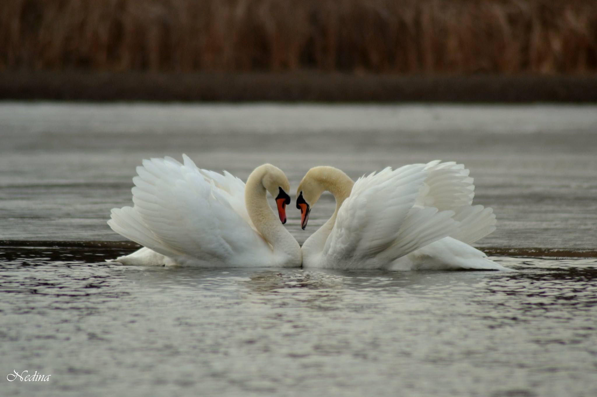 szerelmes_hattyuk_nagy_edina.jpg