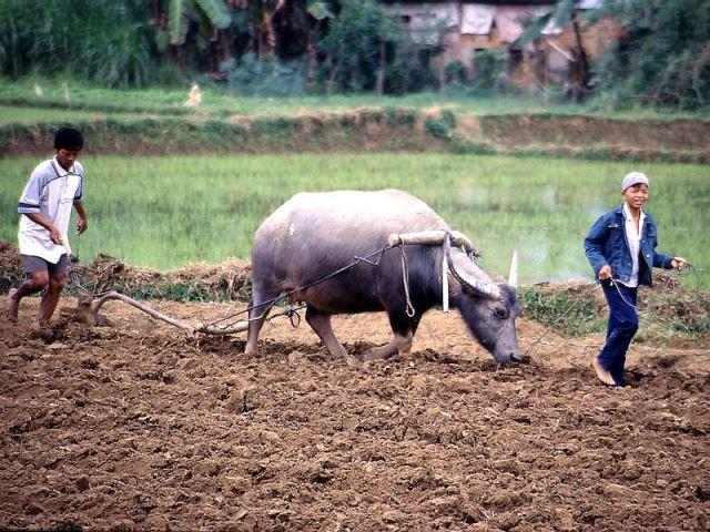 55_rice_cultivation_vietnam.jpg