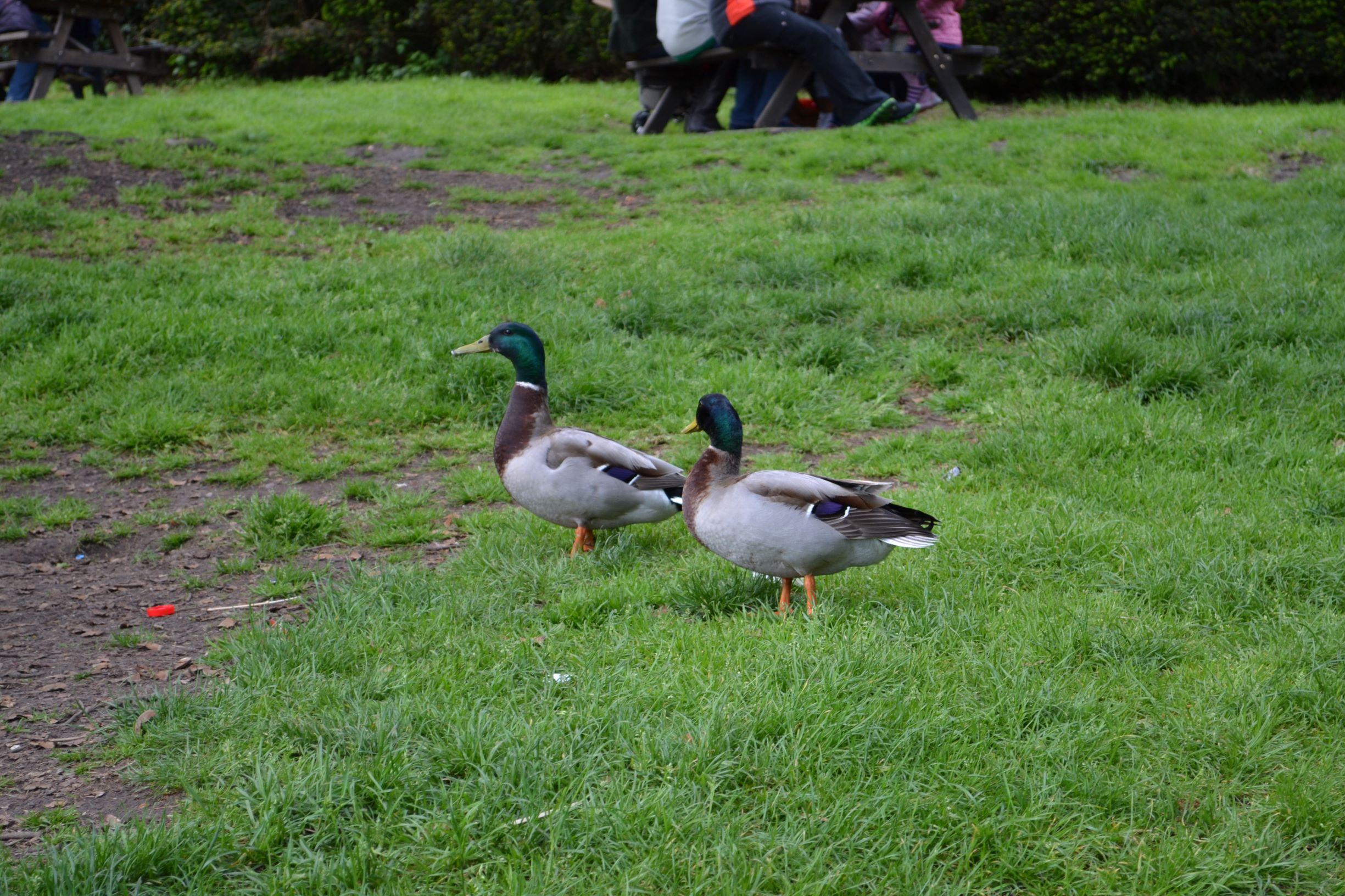nemcsak a pávák, hanem a kacsák is borzasztó szemtelenek. Nem lehet tőlük nyugodtan piknikezni.