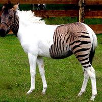 Zebracsíkok nélkül