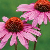 Echinacea: a természetes antibiotikum