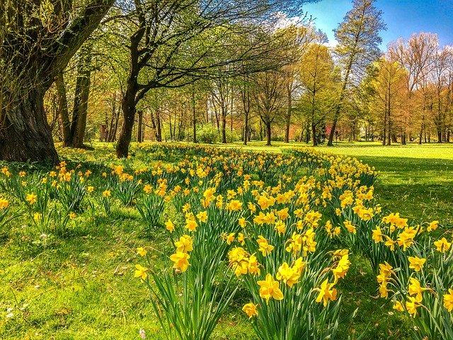 daffodils-2231083_640.jpg