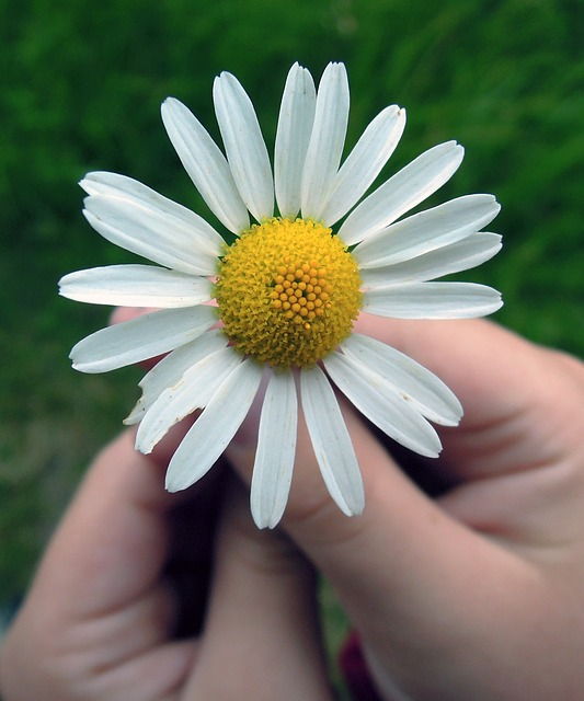 daisy-847045_640.jpg