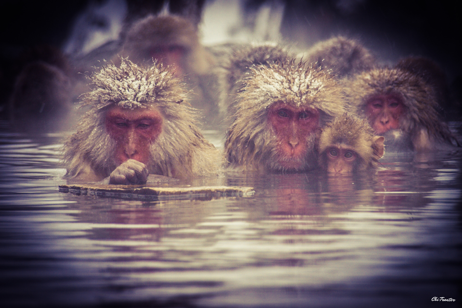 snow_monkeys_winter_514313_2.jpg