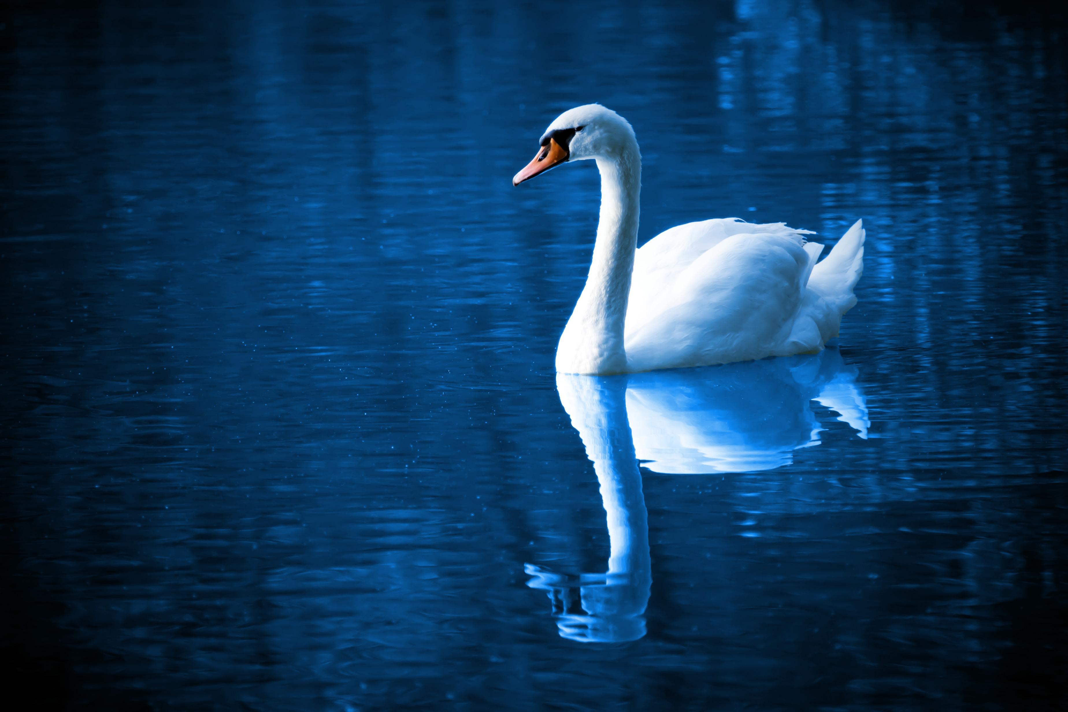 swan_on_lake_189909.jpg