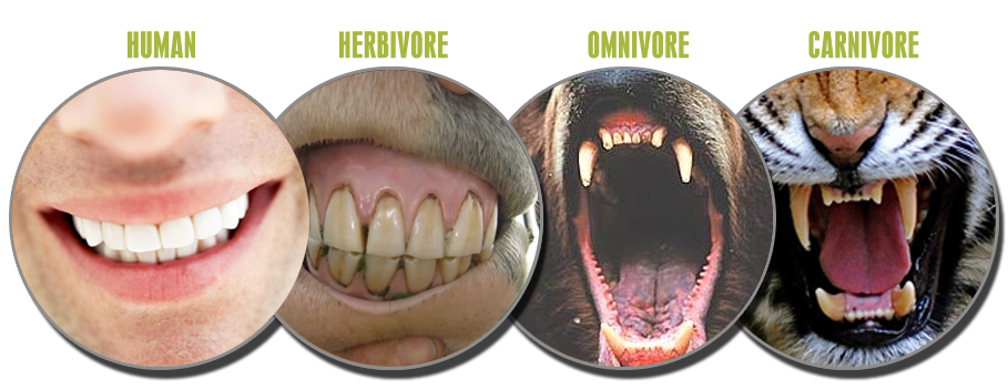 human-anatomy-teeth.png