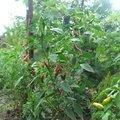 Paprikák őserdeje