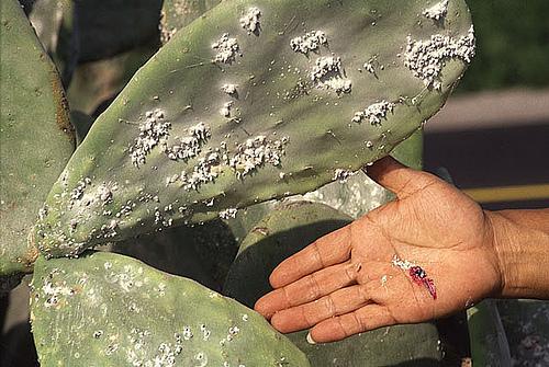 coccus_cacti.jpg