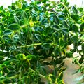 Karfiolsaláta koktélparadicsommal