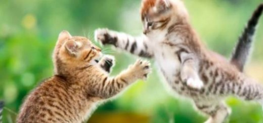 funny-cat-fight-520x245.jpg