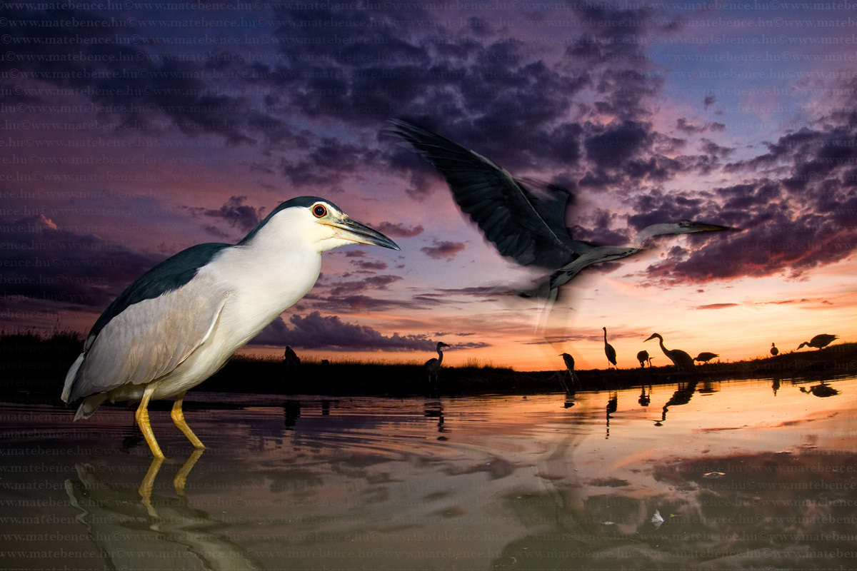 mate-bence-hidephotography-com-nycticorax-nycticorax-night-heron-bakcso2-66424-37882.jpg