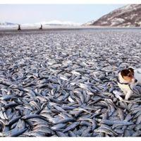 Tömeges heringpusztulás Norvégia partjainál