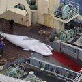 Miről is szól valójában a japán bálnavadászat?