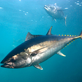 Ezért olyan értékes a kékúszójú tonhal