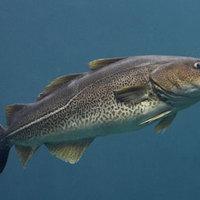 A kanadai halászat összeomlásának története