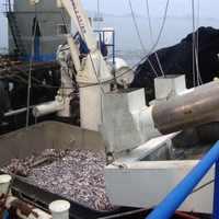 Hova tűnt 630ezer tonna perui szardella?