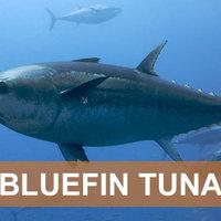 Tiltsák be az atlanti kékúszójú tonhal kereskedelmét!