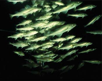cod baltic.jpg