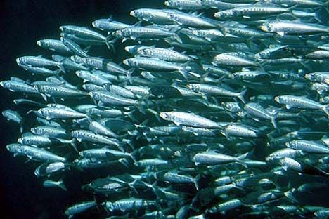 forage-fish-sardines.jpg