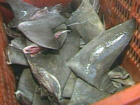 fresh-shark-fin.jpg