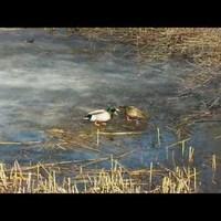 Kacsák a jégen