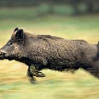 Vaddisznó vadászati árlista