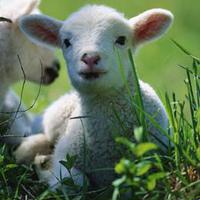Áldozati bárány
