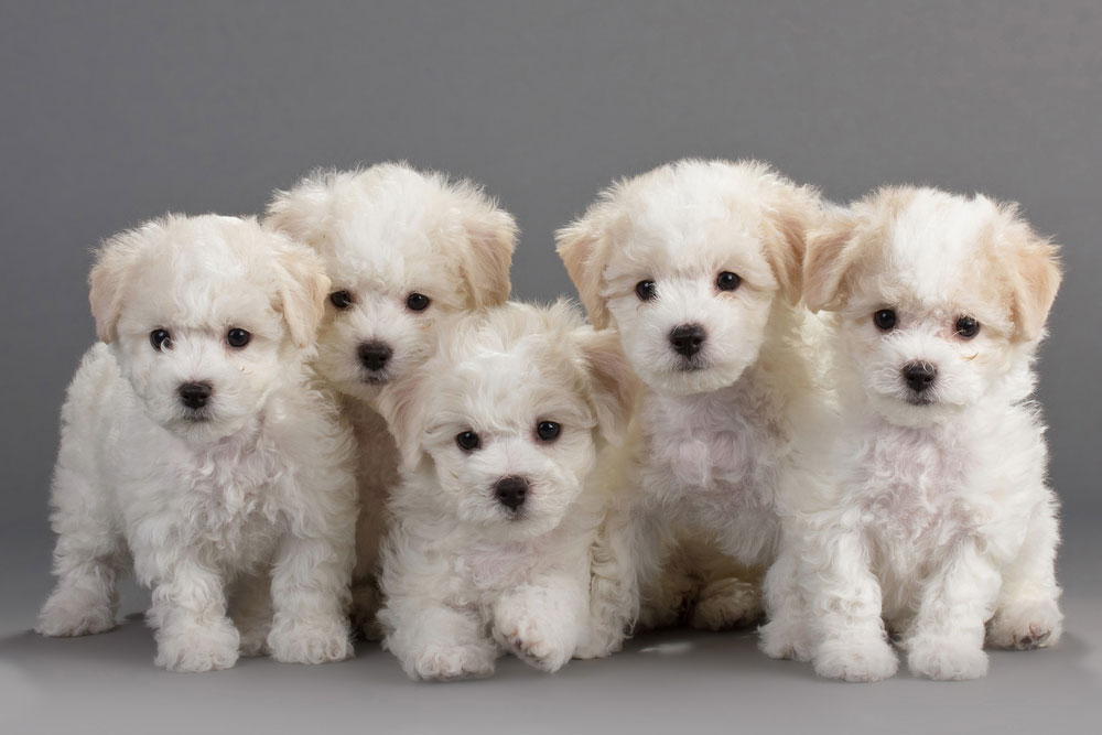 6_bichon-frise-puppies-pictures.jpg