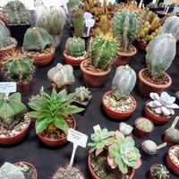 Kaktuszok és pozsgások a kis ablakpárkányomban
