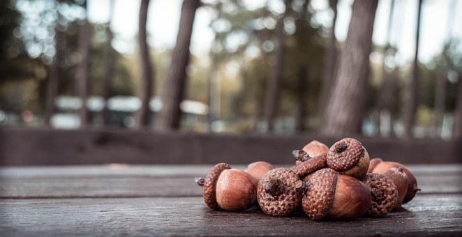 acorn-456205_340.jpg