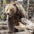 A Yellowstone titkai: grizzly, gejzír és bölények