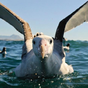 Albatrosz-affér a tengeren
