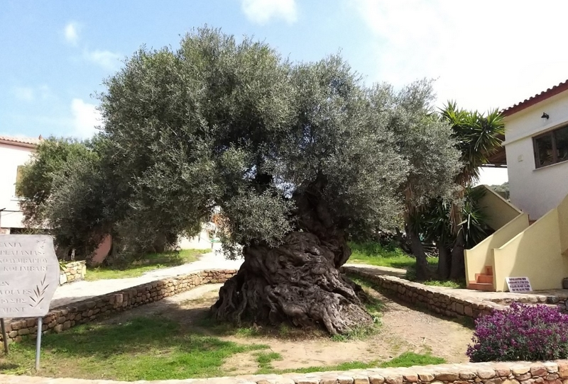 2000 éves olajfa
