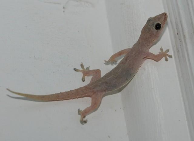 7_gecko.jpg