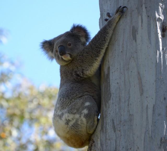 9_koala.jpg