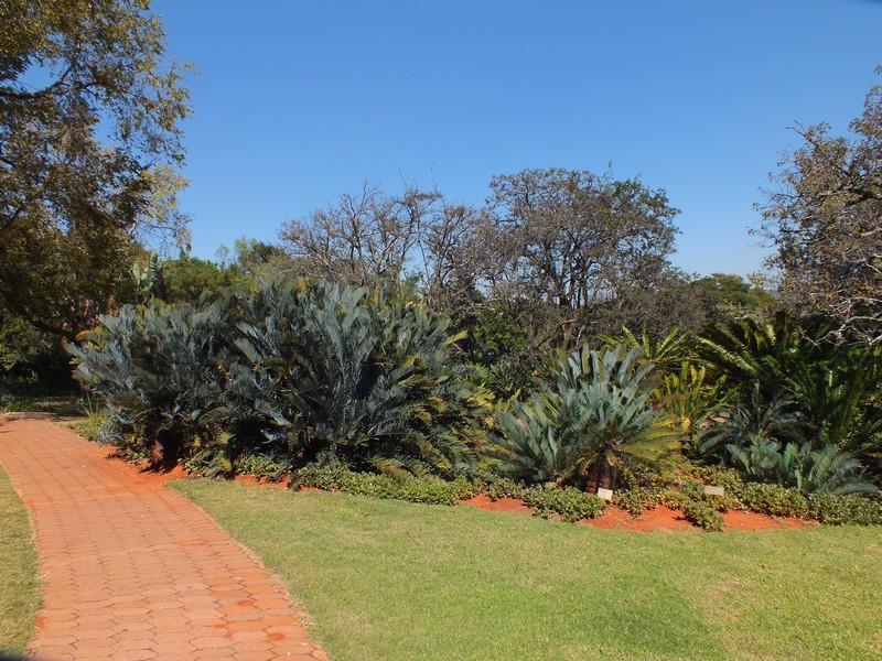 cikászok a Pretoria Botanikus Kertben.JPG