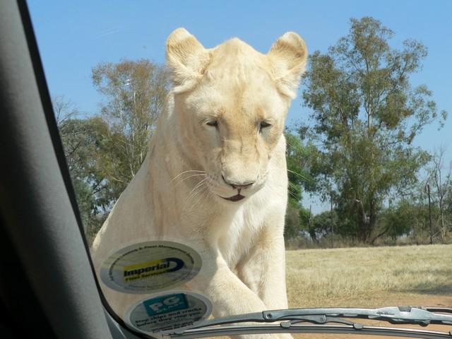 oroszlán.jpg