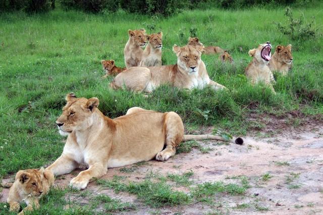 oroszlánok.jpg